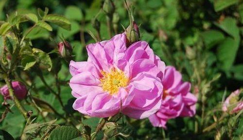 En Images La Rose De Damas De La Fleur A L Huile Essentielle